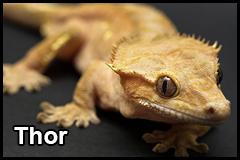 GeckoThumb__0007_Thor