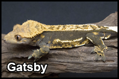 GeckoThumb__0009_Gatsby