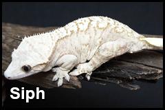 GeckoThumb__0002_Siph