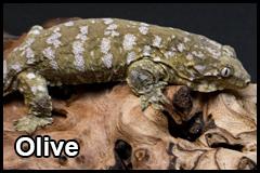 GeckoThumb__0005_Olive
