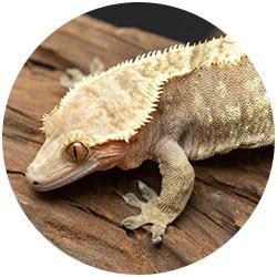 red harlequin female crested gecko