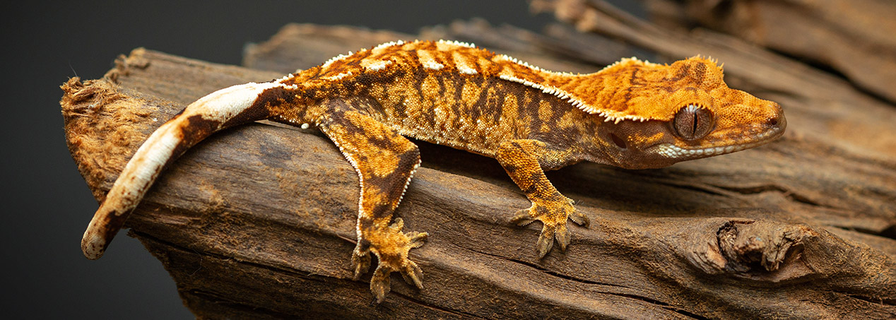 hatchling Crested gecko