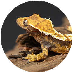 female Crested gecko with white fringe pattern