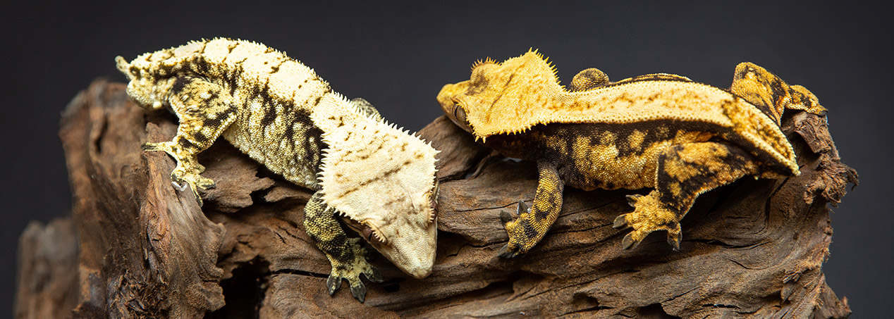 Two Crested Geckos together on a branch